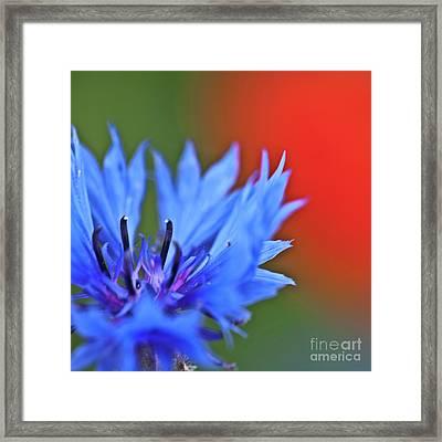 Cornflower Framed Print by Heiko Koehrer-Wagner