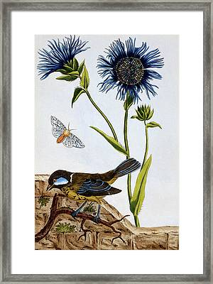 Cornflowers Framed Print by Pierre-Joseph Buchoz