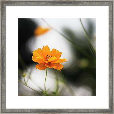 Cosmos Flower With Natural Bokeh Framed Print by Vishwanath Bhat