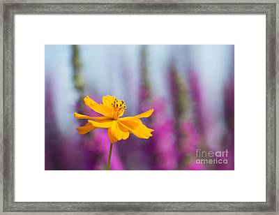 Cosmos Polidor Flower Framed Print by Tim Gainey