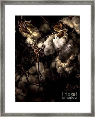 Cotton Bolls Framed Print by James Aiken