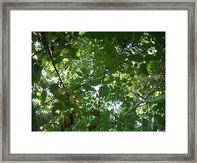 Cotton Wood And Black Berry Vine Canopy  Framed Print by William Mann