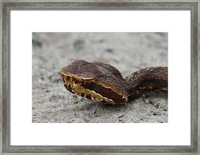 Cottonmouth Framed Print by Dana  Oliver