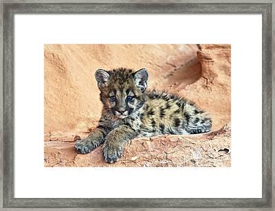 Cougar Kitten Resting Framed Print by Melody Watson