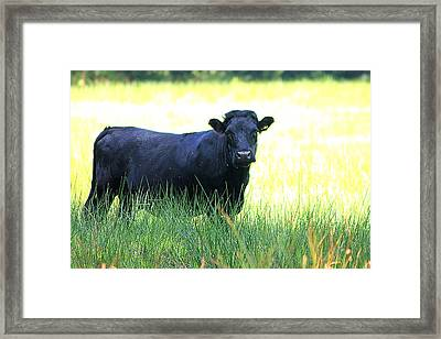 Cow Framed Print by Frances Lewis