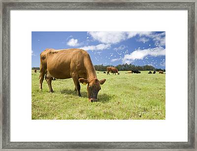 Cow Grazing Framed Print by Inga Spence
