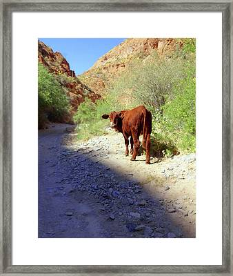 Cow In The Canyon Framed Print by Susan Lafleur