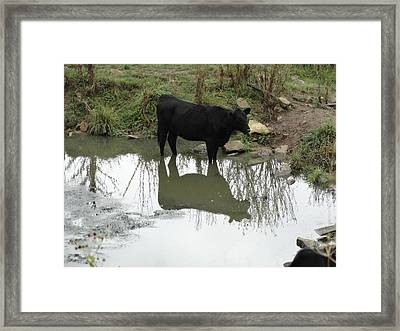 Cow Reflection Framed Print by Shaun Oliver