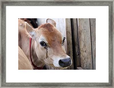 Cow Tear Framed Print by Bonnie Brann