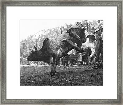 Cowboy Departing A Bull Framed Print by Underwood Archives