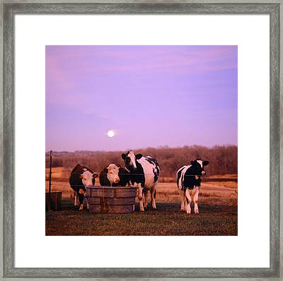 Cows At Sunset Delano Minnesota Framed Print by Panoramic Images
