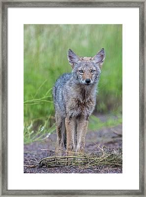 Coyote In The Rain Framed Print by Paul Freidlund