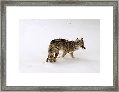 Coyote On The Prowl Framed Print by Mike Buchheit