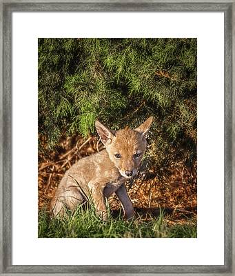 Coyote Pup Framed Print by David Wagner