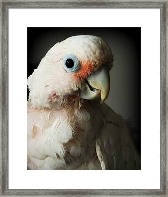 Cozmo Framed Print by Jeanette Fellows
