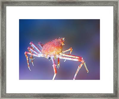Crab Framed Print by Art Spectrum