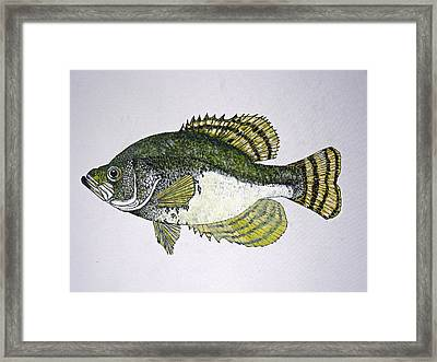 Crappie Fish Of Usa  Framed Print by Don Seago