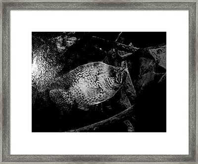 Crappie In Cover Framed Print by Robert Cunningham