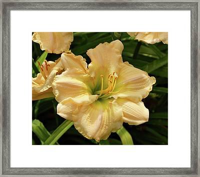 Cream Daylily Framed Print by Sandy Keeton