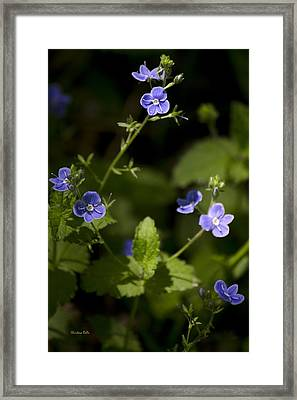 Creeping Speedwell Framed Print by Christina Rollo
