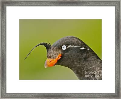 Crested Auklet Framed Print by Desmond Dugan/FLPA
