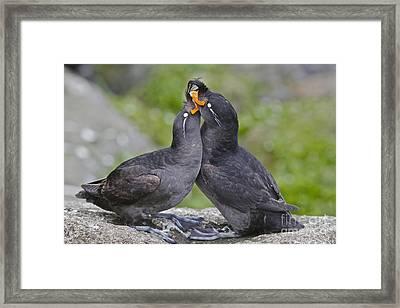 Crested Auklet Pair Framed Print by Desmond Dugan/FLPA