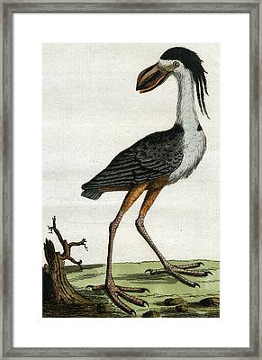 Crested Boat Bill Framed Print by John Latham