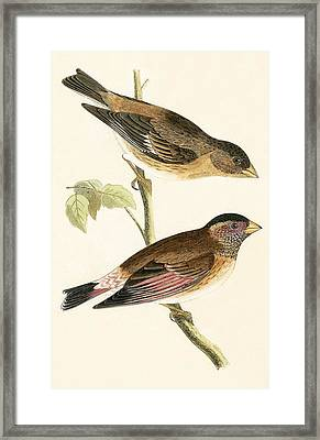 Crimson Winged Grosbeak Framed Print by English School