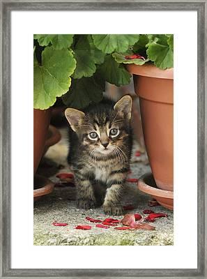 Croatian Kitten Framed Print by Don Wolf