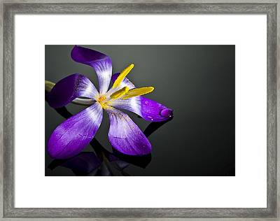 Crocus Framed Print by Svetlana Sewell