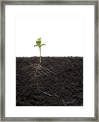 Cross-section Of Soybean Seedling Framed Print by Mark Thiessen