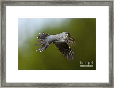 Cuckoo Flying Framed Print by Steen Drozd Lund