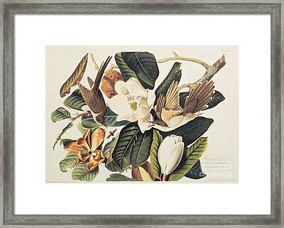 Cuckoo On Magnolia Grandiflora Framed Print by John James Audubon