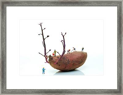 Cultivation On A Sweet Potato Framed Print by Paul Ge