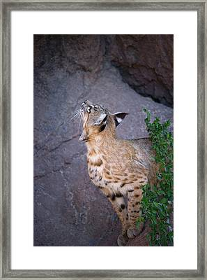 Curious Bobcat - Asdm Tucson Arizona Framed Print by Randall Ingalls