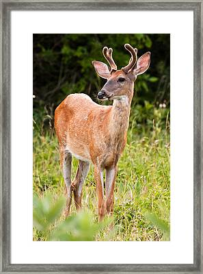 Curious Buck Framed Print by James Marvin Phelps