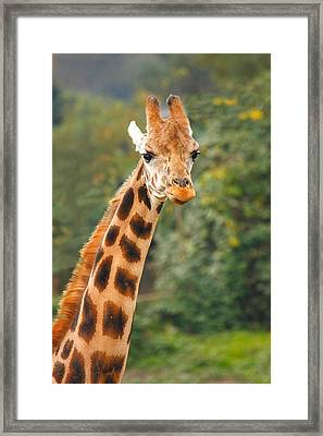 Curious Giraffe Framed Print by Naman Imagery
