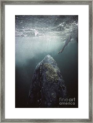 Curious Gray Whale And Tourist Framed Print by Tui De Roy