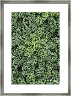 Curly Kale Framed Print by Tim Gainey
