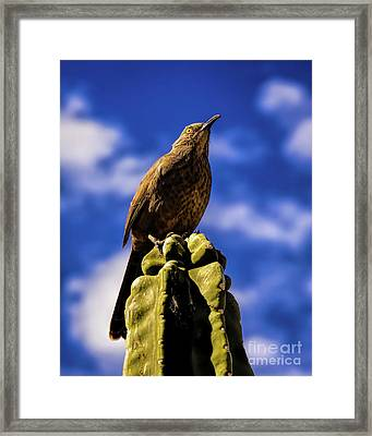 Curved Billed Thrasher Framed Print by Jon Burch Photography