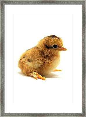 Cute Chick Framed Print by Laura Mountainspring
