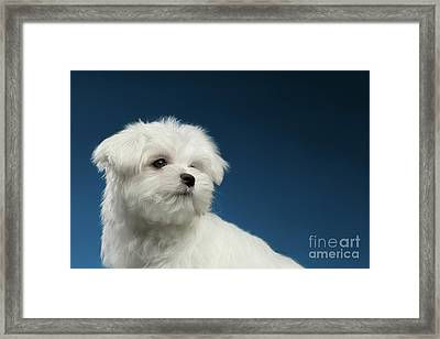 Cute Pure White Maltese Puppy Curiously Looking Isolated On Blue Background Framed Print by Sergey Taran