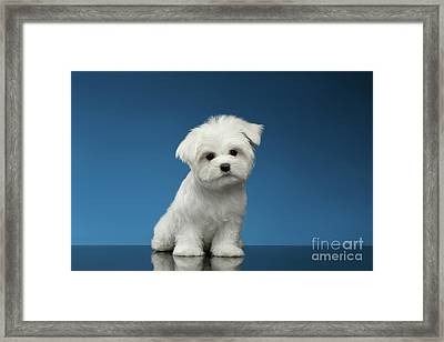 Cute Pure White Maltese Puppy Standing And Curiously Looking In Camera Isolated On Blue Background Framed Print by Sergey Taran