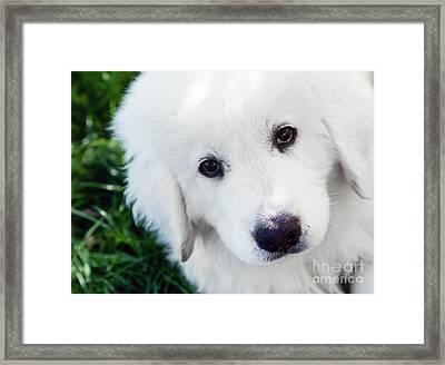 Cute White Puppy Dog Portrait. Polish Tatra Sheepdog Framed Print by Michal Bednarek