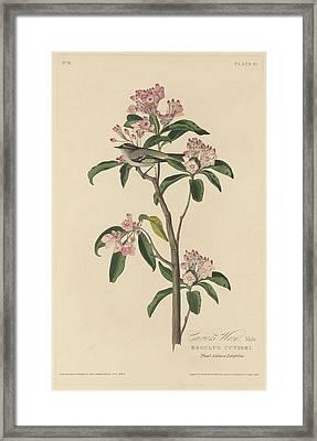 Cuvier's Wren Framed Print by John James Audubon
