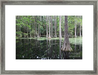 Cypress Swamp Framed Print by Carol Groenen