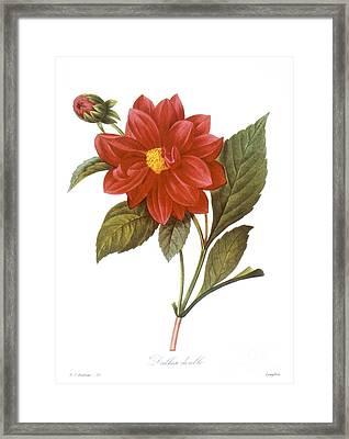 Dahlia (dahlia Pinnata) Framed Print by Granger