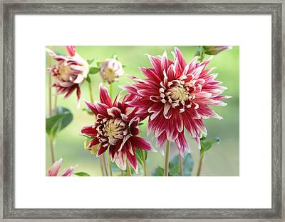 Dahlia Delight Framed Print by Lynn Bauer