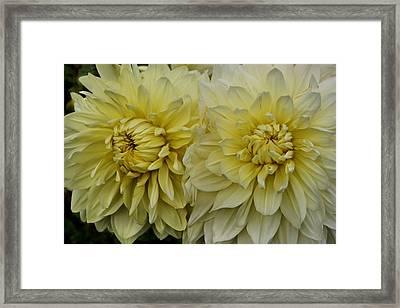 Dahlia Duet Framed Print by Patricia Strand