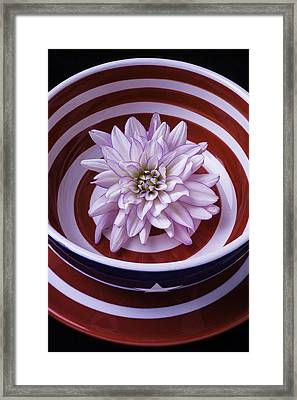 Dahlia In Red And White Bowl Framed Print by Garry Gay